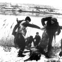 I Partigiani scaricano le pecore che hanno ucciso sull'altra riva del fiume Reno. Gennaio 1945